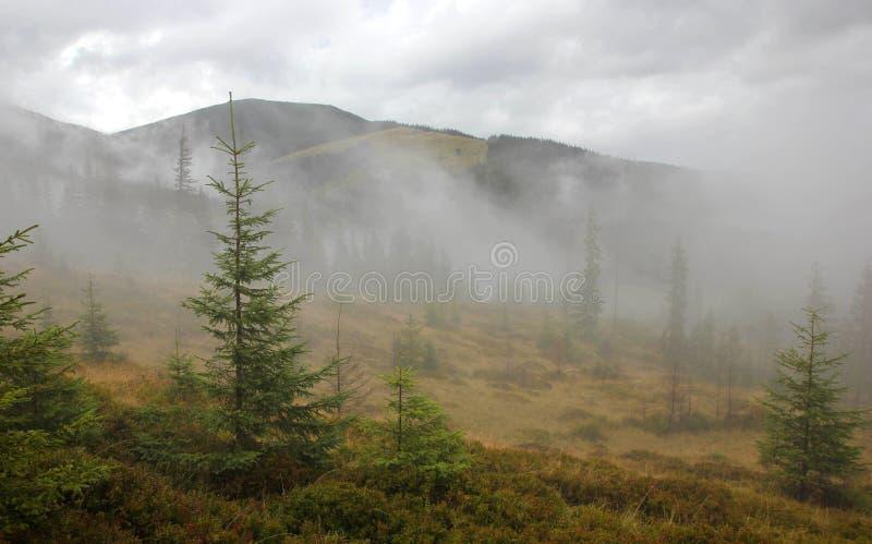 Νέο κωνοφόρο δάσος στην ομίχλη στοκ φωτογραφίες με δικαίωμα ελεύθερης χρήσης