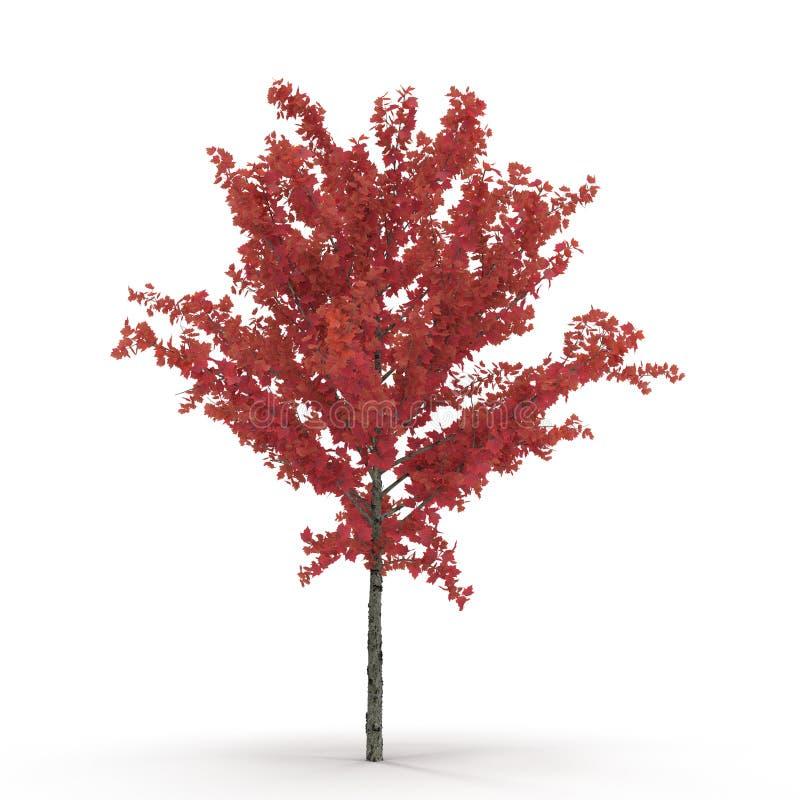 Νέο κόκκινο δέντρο σφενδάμνου φθινοπώρου που απομονώνεται στο λευκό τρισδιάστατη απεικόνιση ελεύθερη απεικόνιση δικαιώματος