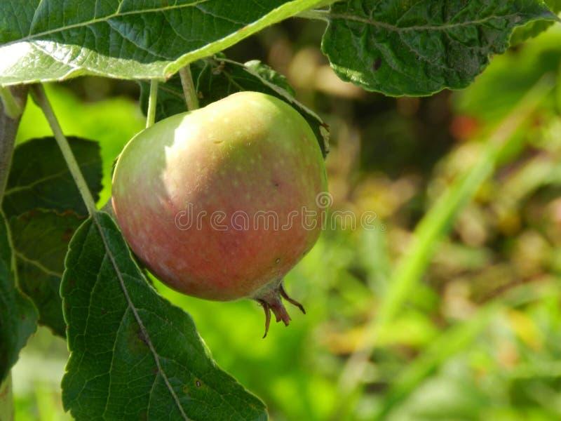 Νέο μήλο σε έναν κλάδο στοκ φωτογραφία με δικαίωμα ελεύθερης χρήσης
