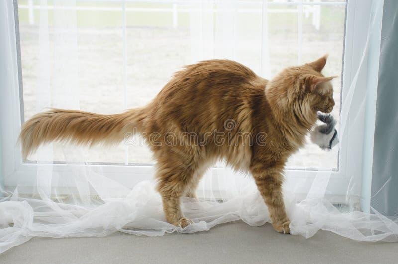 Νέο μεγάλο κόκκινο μαρμάρινο παιχνίδι γατών του Μαίην coon με ένα παιχνίδι στοκ φωτογραφία με δικαίωμα ελεύθερης χρήσης