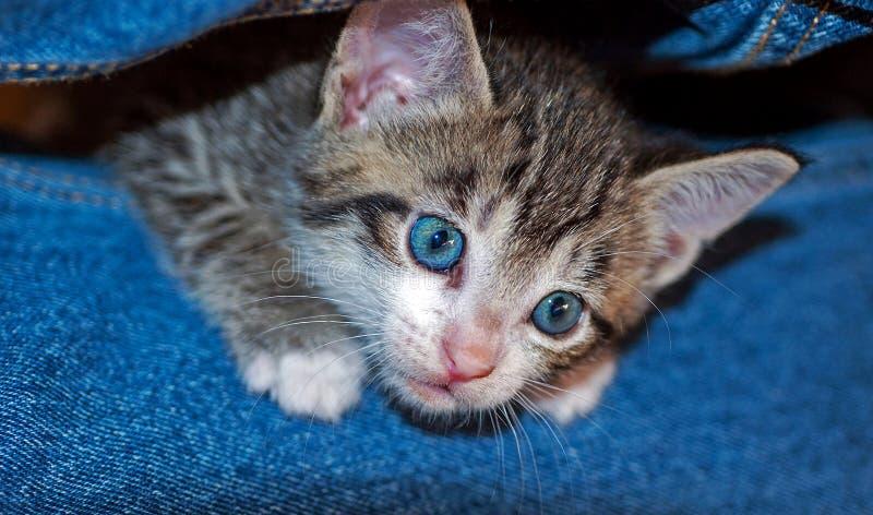 Νέο με κοντά μαλλιά καφετί τιγρέ γατάκι στοκ εικόνες