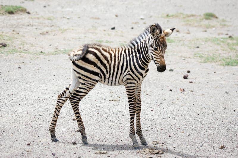 νέο με ραβδώσεις equus burchelli στοκ φωτογραφία με δικαίωμα ελεύθερης χρήσης