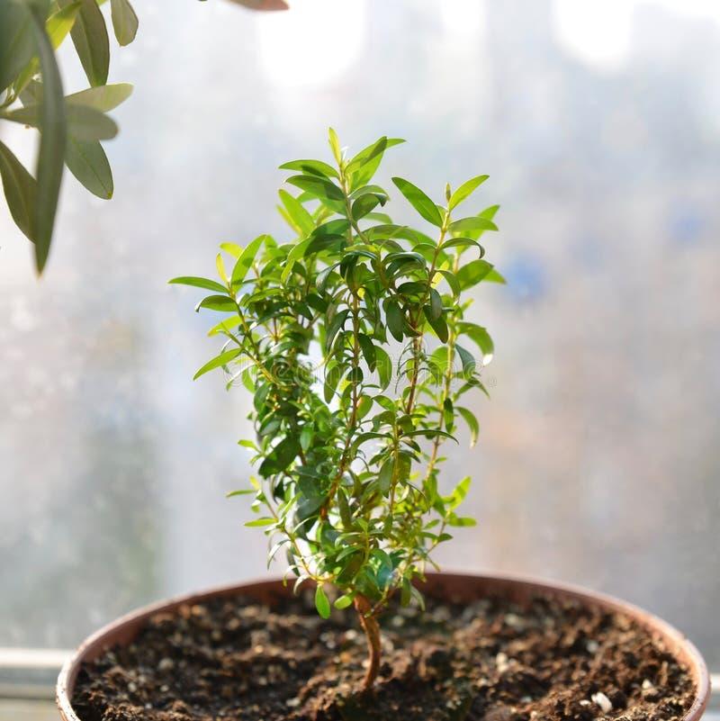 Νέο μικρό πράσινο myrtle με τα φύλλα, που μεγαλώνουν στον ήλιο στο δοχείο κοντά Εγκαταστάσεις, που χρησιμοποιούνται αειθαλείς για στοκ εικόνα