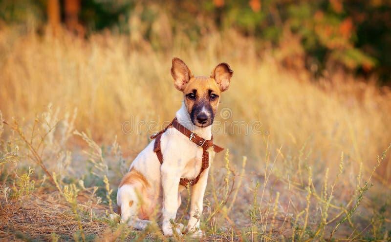 Νέο ομαλό τεριέ αλεπούδων στοκ εικόνα με δικαίωμα ελεύθερης χρήσης