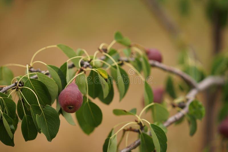 Νέο οπωρωφόρο δέντρο με τα ώριμα σκοτεινά burgundy αχλάδια που αυξάνονται στο θερινό κήπο στοκ εικόνες