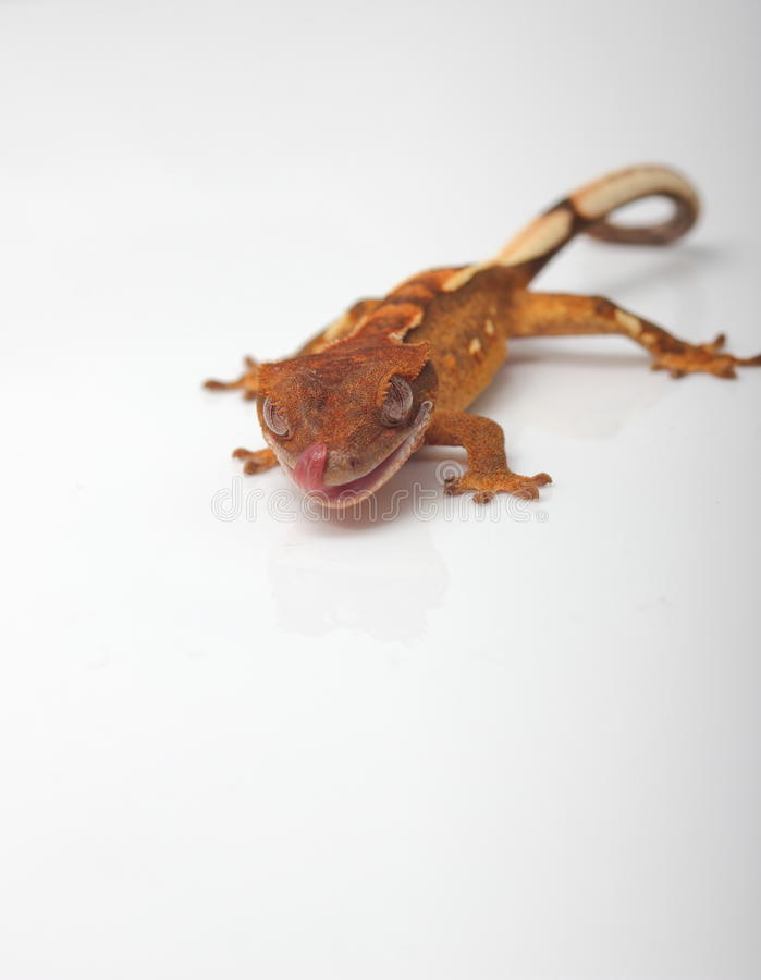 Νέο λοφιοφόρο gecko που γλείφει τη μύτη του στοκ φωτογραφία με δικαίωμα ελεύθερης χρήσης