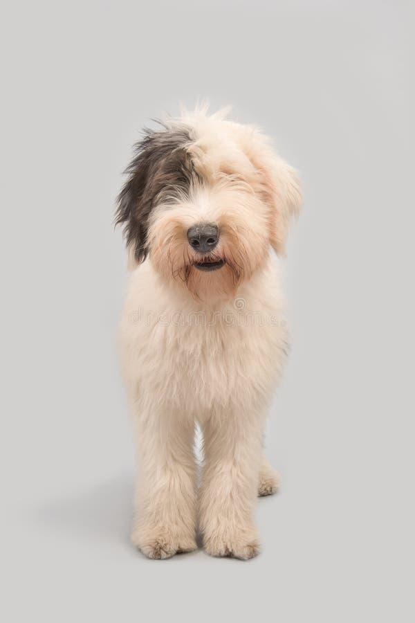 Νέο παλαιό αγγλικό τσοπανόσκυλο σε ένα γκρίζο υπόβαθρο στοκ φωτογραφίες