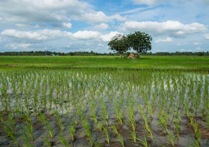 νέο ρύζι στοκ εικόνες με δικαίωμα ελεύθερης χρήσης