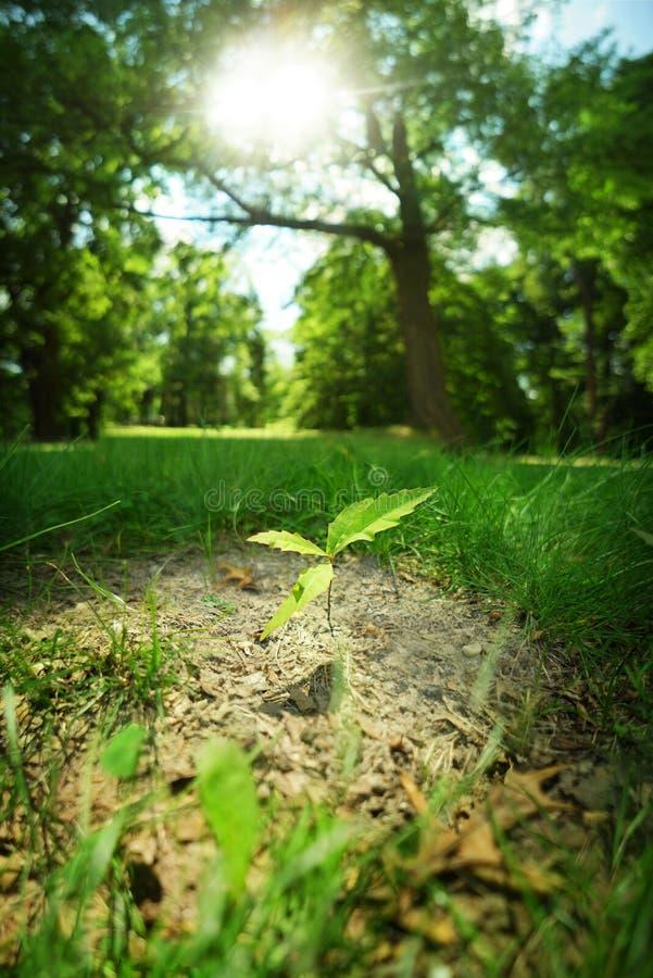Νέο δρύινο δέντρο ανάπτυξης στοκ εικόνα με δικαίωμα ελεύθερης χρήσης