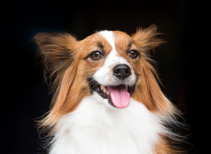 Νέο σκυλί της φυλής papillon που στέκεται στοκ εικόνα με δικαίωμα ελεύθερης χρήσης