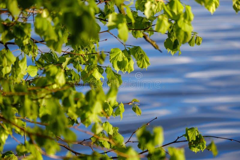 νέο φρέσκο πράσινο φύλλο δέντρων mapple στο υπόβαθρο μπλε ουρανού στοκ εικόνα