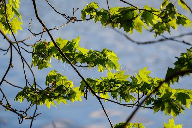 νέο φρέσκο πράσινο φύλλο δέντρων mapple στο υπόβαθρο μπλε ουρανού στοκ εικόνα με δικαίωμα ελεύθερης χρήσης