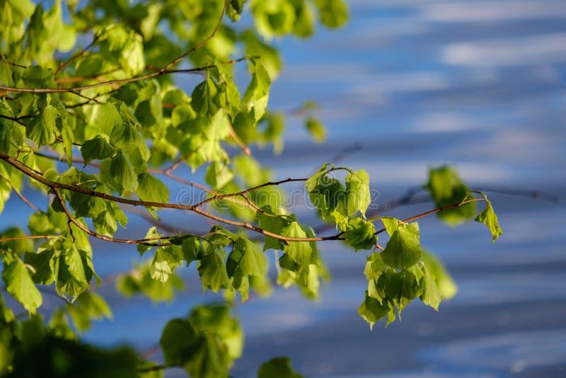 νέο φρέσκο πράσινο φύλλο δέντρων mapple στο υπόβαθρο μπλε ουρανού στοκ φωτογραφία με δικαίωμα ελεύθερης χρήσης