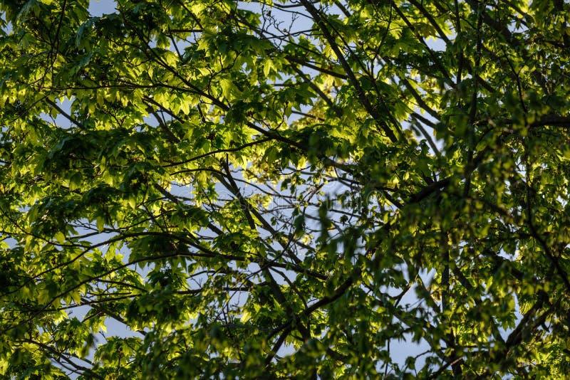 νέο φρέσκο πράσινο φύλλο δέντρων mapple στο υπόβαθρο μπλε ουρανού στοκ εικόνες με δικαίωμα ελεύθερης χρήσης