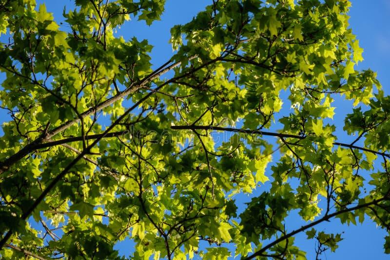 νέο φρέσκο πράσινο φύλλο δέντρων mapple στο υπόβαθρο μπλε ουρανού στοκ εικόνες