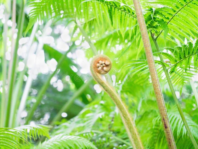 Νέο φύλλο της πράσινης φτέρης στοκ φωτογραφίες