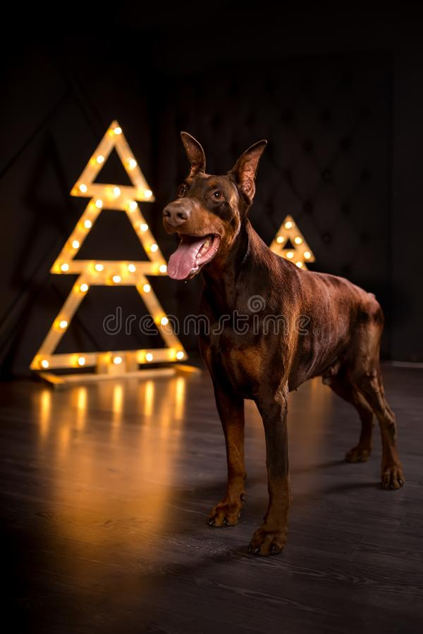 νέο χαριτωμένο ευτυχές doberman σκυλί χαμόγελου στο μαύρο χριστουγεννιάτικο δέντρο στοκ φωτογραφίες με δικαίωμα ελεύθερης χρήσης
