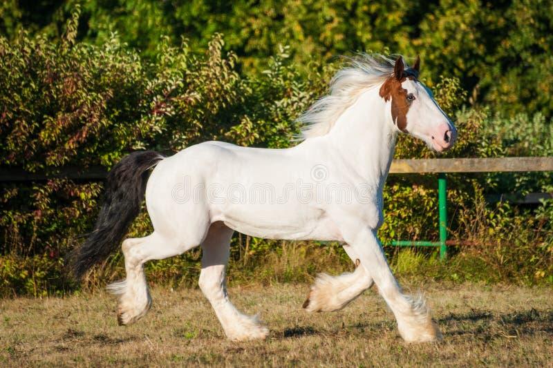 Νέο όμορφο άσπρο και κόκκινο πορτοκαλί trotting τρέξιμο επιβητόρων αλόγων τυμπάνων drumhorse ελεύθερα στοκ εικόνες