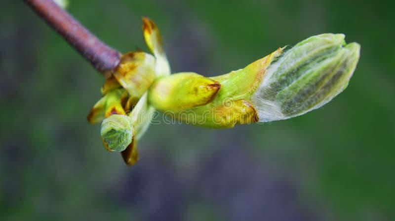 Νέο budwood, οφθαλμός δέντρων Άνοιξη στοκ εικόνες