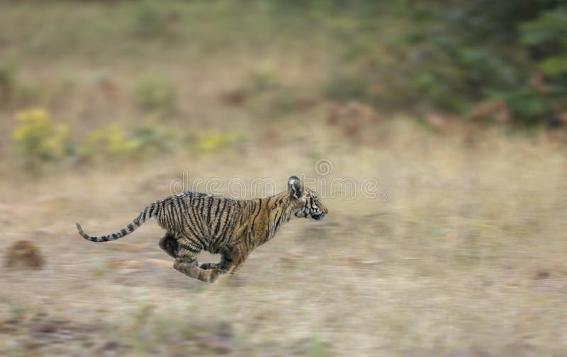 Νέο Cub τιγρών που τρέχει στη χλόη στην επιφύλαξη τιγρών Tadoba Andhari, Chandrapur, Maharashtra, Ινδία στοκ φωτογραφία