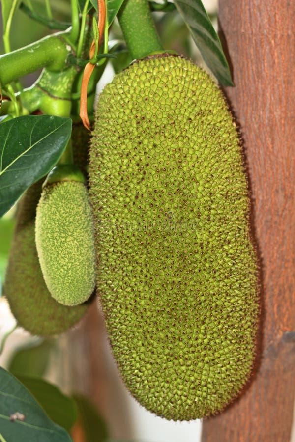 Νέο jackfruit στοκ εικόνες
