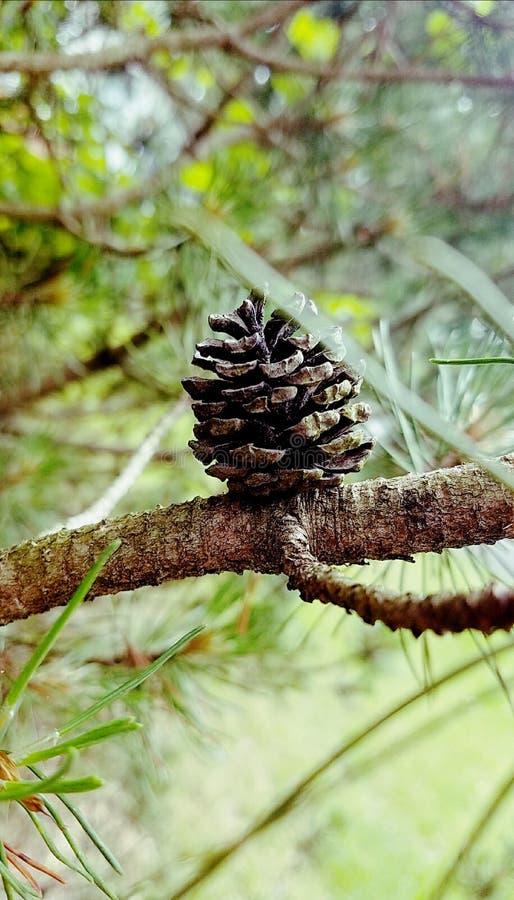 Νέο pinecone στοκ εικόνες με δικαίωμα ελεύθερης χρήσης