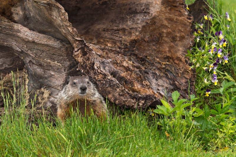 Νέο Woodchuck (Marmota monax) κοιτάζει έξω από κάτω από το κούτσουρο στοκ φωτογραφίες με δικαίωμα ελεύθερης χρήσης