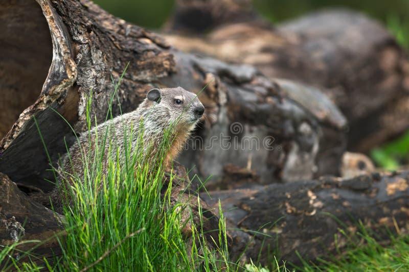 Νέο Woodchuck Marmota monax κοιτάζει δεξιά στοκ φωτογραφίες με δικαίωμα ελεύθερης χρήσης