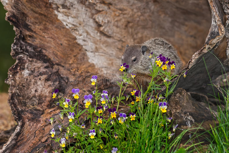 Νέο Woodchuck (Marmota monax) πίσω από τα λουλούδια στοκ εικόνες