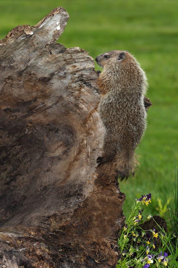 Νέο Woodchuck Marmota monax προσκολλάται στην πλευρά του κούτσουρου στοκ φωτογραφία με δικαίωμα ελεύθερης χρήσης