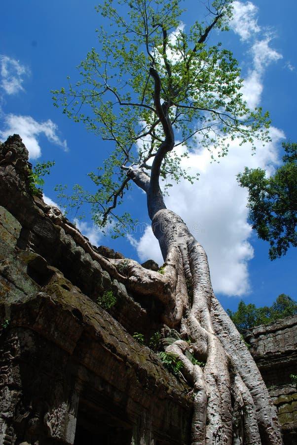 Ναοί της Καμπότζης στα δέντρα στοκ εικόνες με δικαίωμα ελεύθερης χρήσης