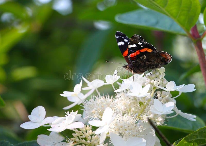 Ναύαρχος - atalanta της Vanessa, πεταλούδα στα άσπρα λουλούδια, στο πράσινο υπόβαθρο, διάστημα αντιγράφων στοκ εικόνες
