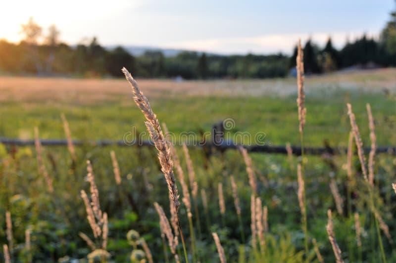 Να λάμψει σανού φωτεινό σε ένα ανεμοδαρμένο δικαίωμα ημέρας πριν από το ηλιοβασίλεμα στοκ φωτογραφίες