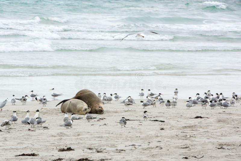 Να αγκαλιάσει στοργικά τα λιοντάρια θάλασσας, νησί καγκουρό στοκ φωτογραφία με δικαίωμα ελεύθερης χρήσης