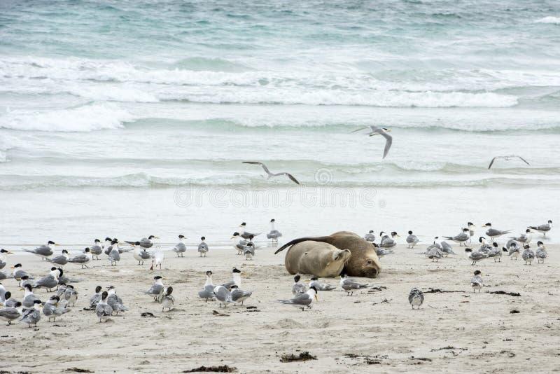Να αγκαλιάσει στοργικά τα λιοντάρια θάλασσας, νησί καγκουρό στοκ εικόνα