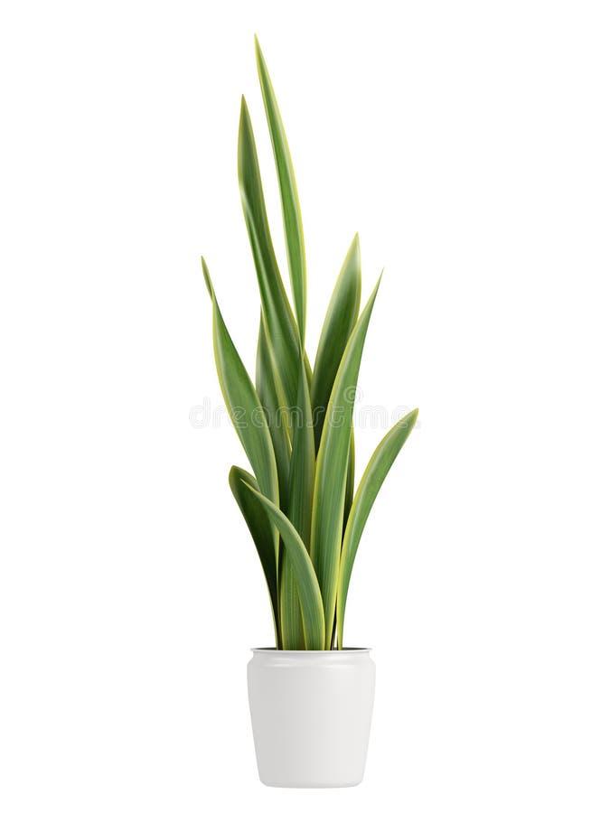 Να αναπτύξει Sansevieria σε ένα δοχείο διανυσματική απεικόνιση
