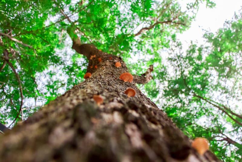 Να ανατρέξει μέσω των μανιταριών στο φλοιό ενός δέντρου στο δάσος στοκ εικόνα με δικαίωμα ελεύθερης χρήσης