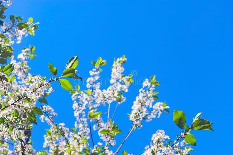 Να ανατρέξει οι κλάδοι δέντρων κερασιών με τα άνθη ενάντια στο μπλε ουρανό μια ηλιόλουστη ημέρα ανοίξεων Αλλαγή της έννοιας εποχώ στοκ φωτογραφία