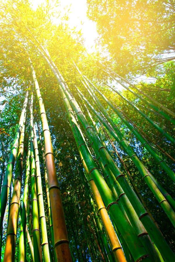 Να ανατρέξει πολύ πράσινο δέντρο μπαμπού στο δάσος στοκ φωτογραφία