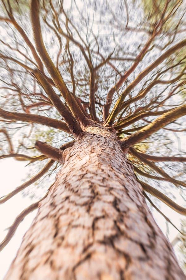 Να ανατρέξει ράγισε το ψηλό δέντρο πεύκων φλοιών με τα brunches στοκ εικόνες με δικαίωμα ελεύθερης χρήσης