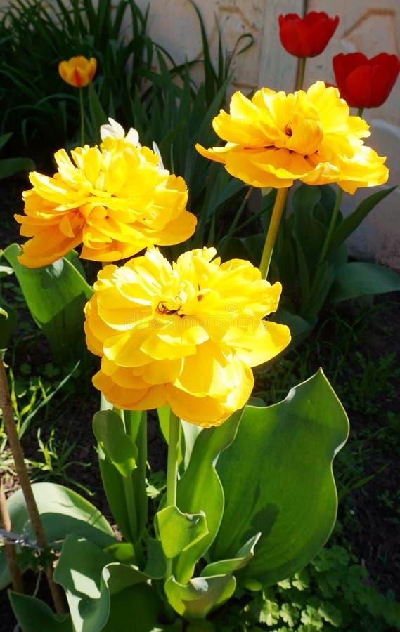 Να ανθίσει την άνοιξη μια υψηλής ποιότητας τουλίπα του κίτρινου χρώματος στον κήπο στοκ εικόνα