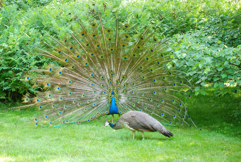 να βάλει στον πειρασμό 4 peacock στοκ φωτογραφία με δικαίωμα ελεύθερης χρήσης