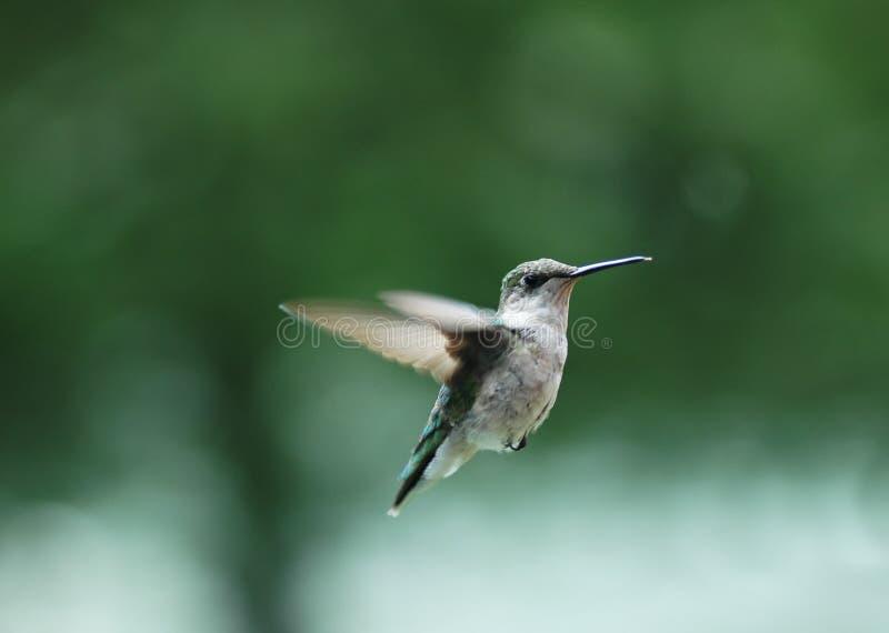 να βουίσει 2 πουλιών Στοκ εικόνα με δικαίωμα ελεύθερης χρήσης