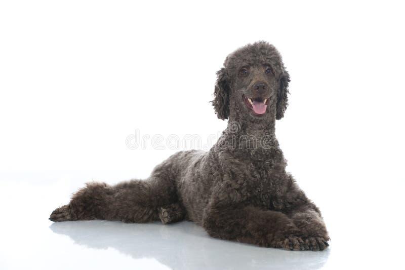 Να βρεθεί poodle στοκ εικόνες με δικαίωμα ελεύθερης χρήσης