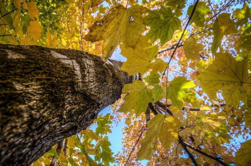Να εξετάσει επάνω ο φλοιός δέντρων ένα κίτρινο δέντρο φύλλων σφενδάμου με τα χρώματα πτώσης στοκ φωτογραφίες