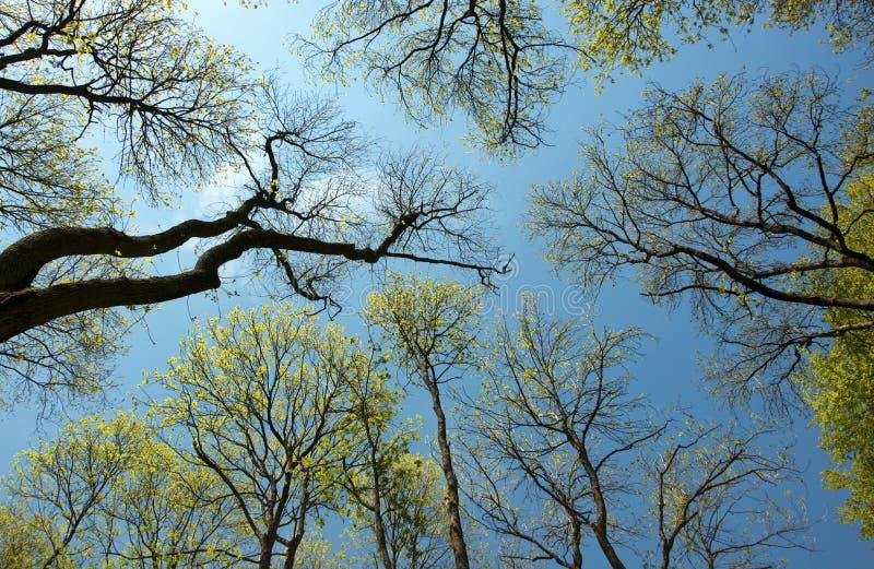 Να εξετάσει τις κορυφές δέντρων στοκ εικόνες