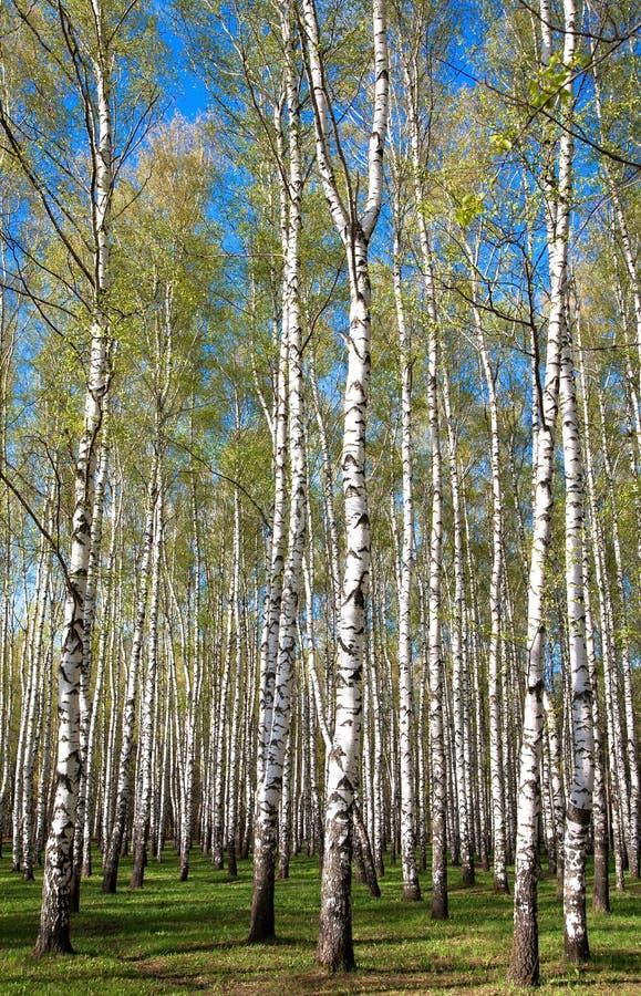 Να εξισώσει το ηλιόλουστο άλσος σημύδων στα πρώτα πράσινα άνοιξη στο μπλε ουρανό στοκ φωτογραφίες με δικαίωμα ελεύθερης χρήσης
