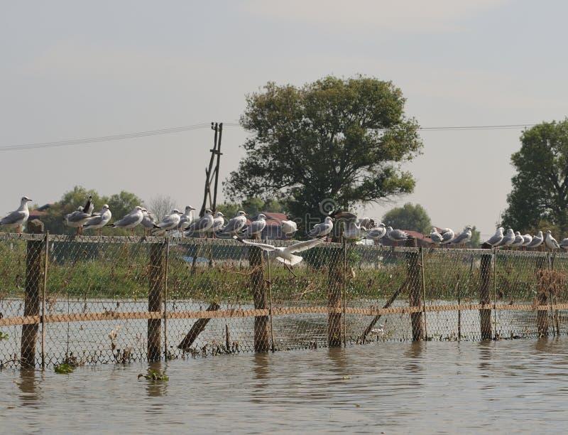 Να επιπλεύσει λιμνών Inle περιστεριών περιστέρια σπιτιών στοκ φωτογραφία με δικαίωμα ελεύθερης χρήσης