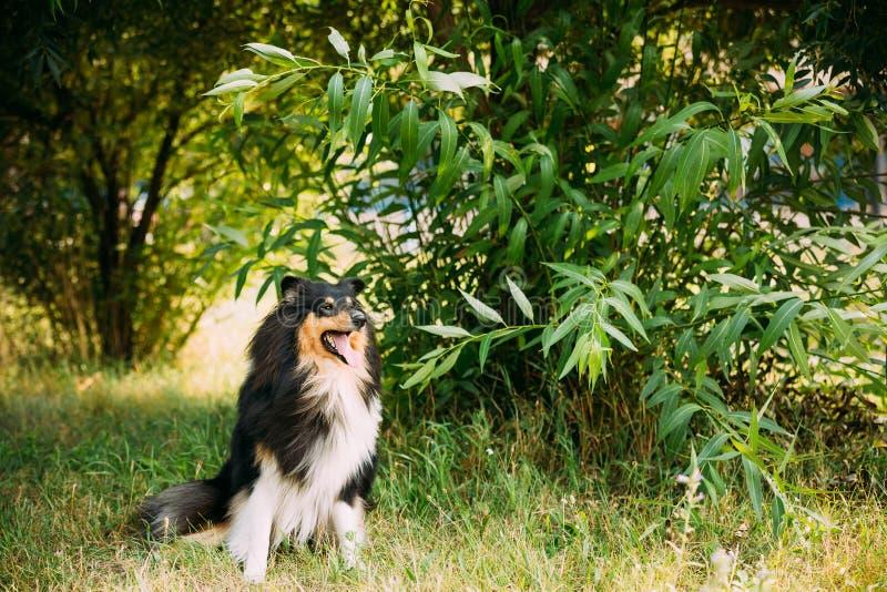Να κοιτάξει επίμονα καμερών ενήλικο σκυλί μακρυμάλλους Lassie κόλλεϊ Tricolor στο σκωτσέζικο τραχύ στοκ εικόνες