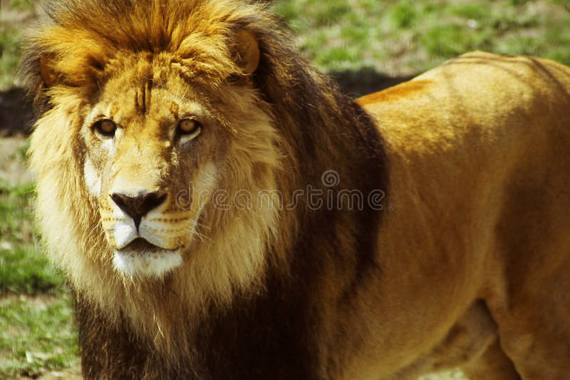 Download να κοιτάξει επίμονα λιονταριών Στοκ Εικόνα - εικόνα από μάιν, γούνινος: 95093